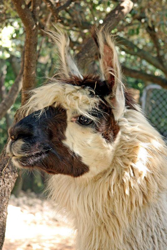 Ardèche Lama